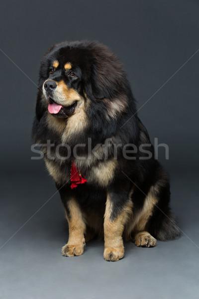 美しい ビッグ マスチフ 犬 クローズアップ 肖像 ストックフォト © svetography
