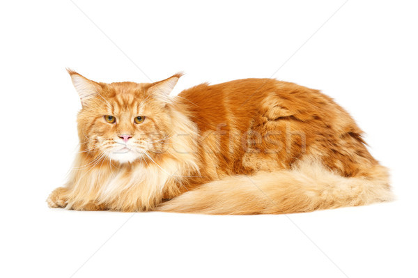 Сток-фото: красивой · кошки · большой · изолированный · белый · копия · пространства