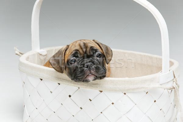 Stockfoto: Cute · frans · bulldog · puppy · mand · mooie
