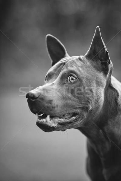 thai ridgeback dog outdoors Stock photo © svetography