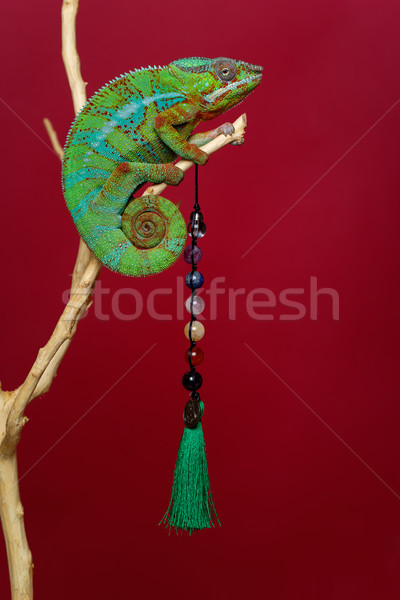 Vivo camaleão réptil naturalismo pedra Foto stock © svetography