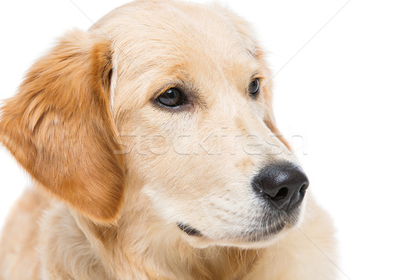 Jonge golden retriever hond gezicht ogen Stockfoto © svetography