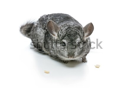 Cute chinchilla isolé blanche adulte deux Photo stock © svetography