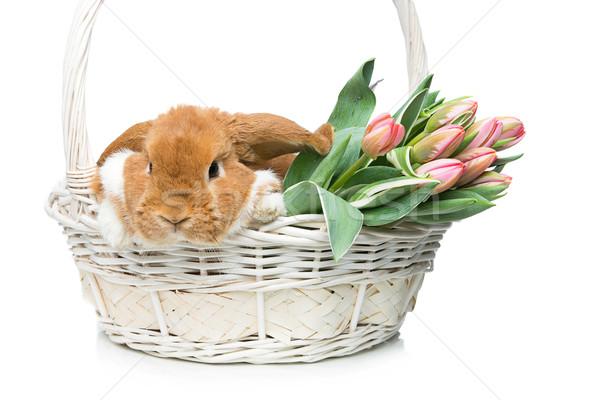 Beautiful domestic rabbit in flower basket Stock photo © svetography