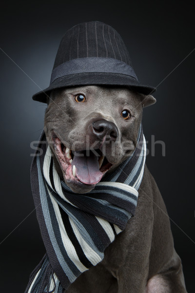 beautiful thai ridgeback dog in hat and scarf Stock photo © svetography