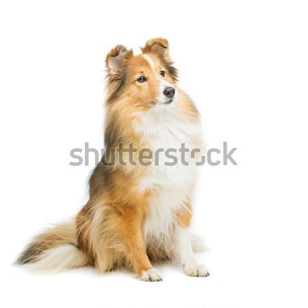 Kahverengi köpek güzel yalıtılmış beyaz bo Stok fotoğraf © svetography