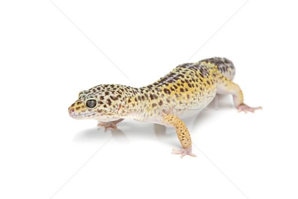 Pequeño lagarto mascota aislado blanco espacio de la copia Foto stock © svetography