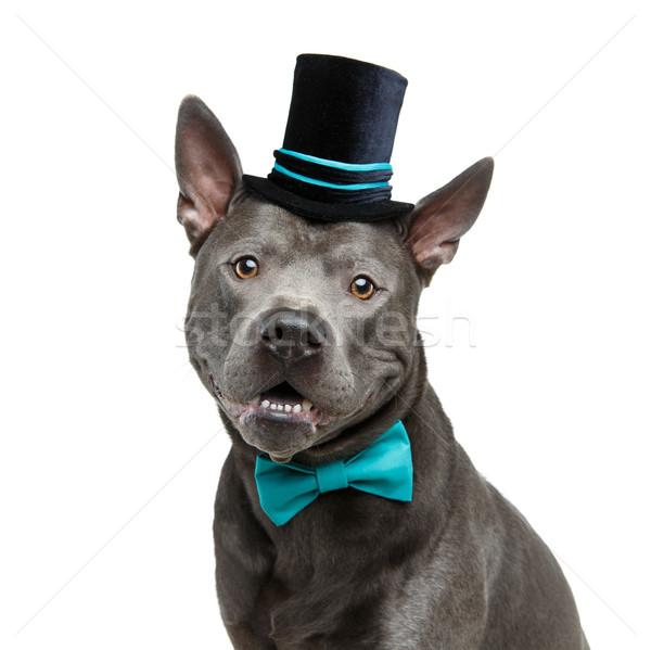 красивой тайский собака высокий Hat лук Сток-фото © svetography