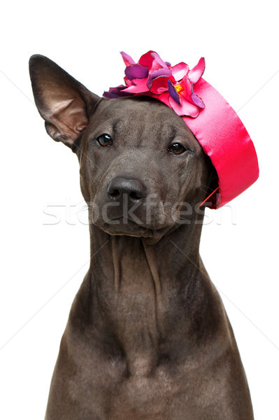 beautiful thai ridgeback puppy Stock photo © svetography