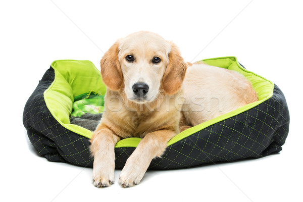 Jovem golden retriever cão verde cachorro travesseiro Foto stock © svetography