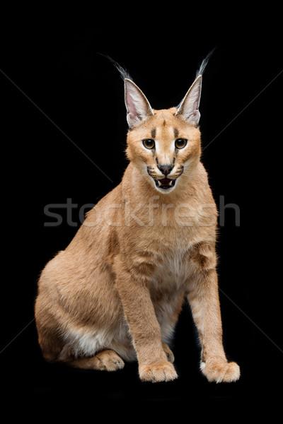 Belo lince preto meses velho gatinho Foto stock © svetography