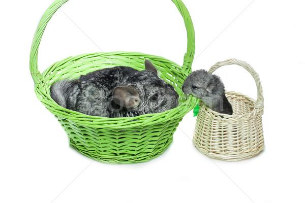 Deux isolé blanche chinchilla mère bébé Photo stock © svetography