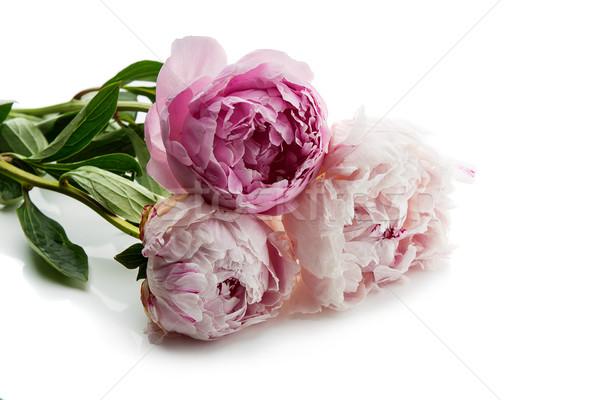 Beautiful peony flowers Stock photo © svetography