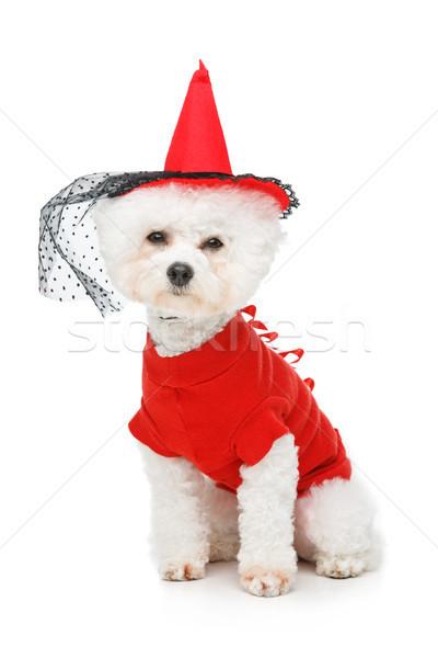 beautiful bichon frisee dog Stock photo © svetography
