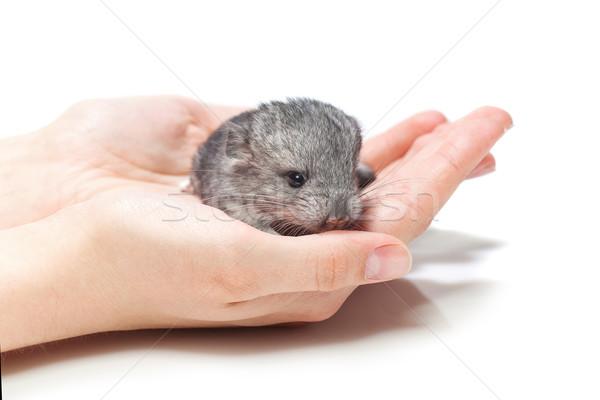 Chinchilla baby sitting on hands Stock photo © svetography