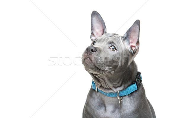 Thai cucciolo bella blu mesi vecchio Foto d'archivio © svetography