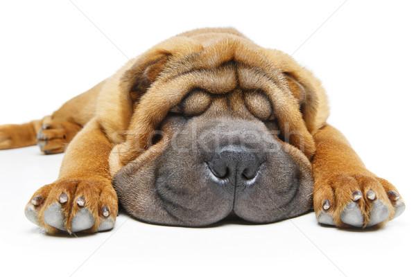 Gyönyörű kutyakölyök alszik izolált fehér copy space Stock fotó © svetography