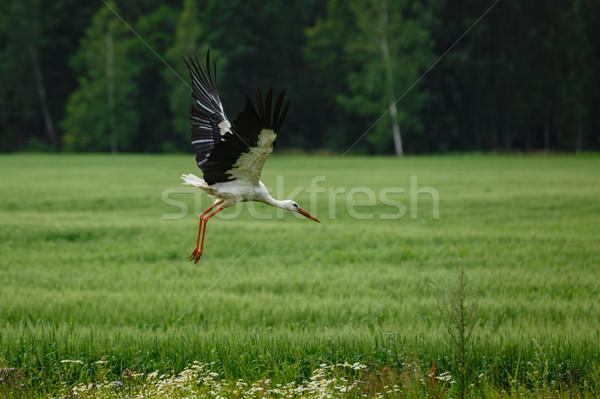 Cigüena vuelo campo de hierba aire libre tiro luz Foto stock © svetography
