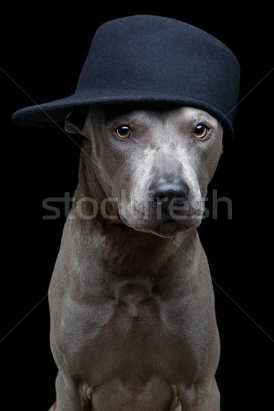 Hermosa tailandés perro CAP jóvenes azul Foto stock © svetography