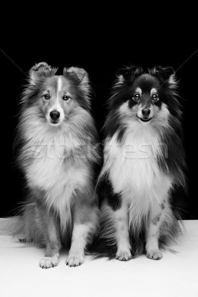 Stok fotoğraf: Iki · köpekler · güzel · oturma · birlikte · beyaz
