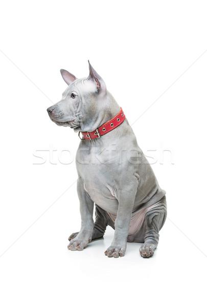 タイ 子犬 美しい 青 ヶ月 古い ストックフォト © svetography