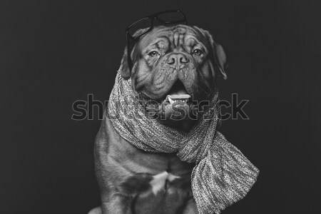 Gyönyörű Bordeau kutya sál fiatal visel Stock fotó © svetography
