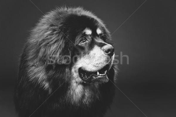 Belo grande mastim cão retrato Foto stock © svetography