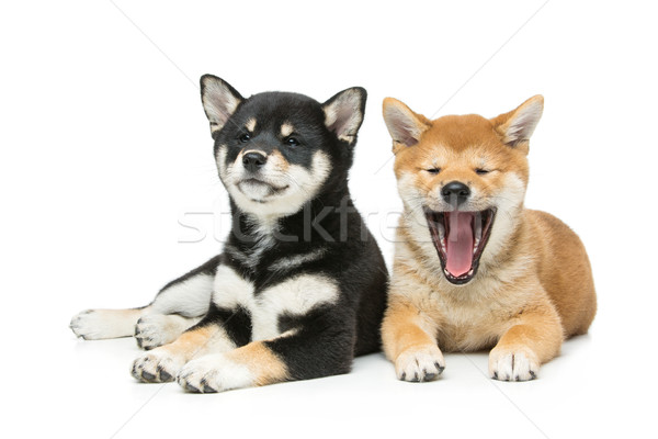 Beautiful shiba inu puppies isolated on white Stock photo © svetography
