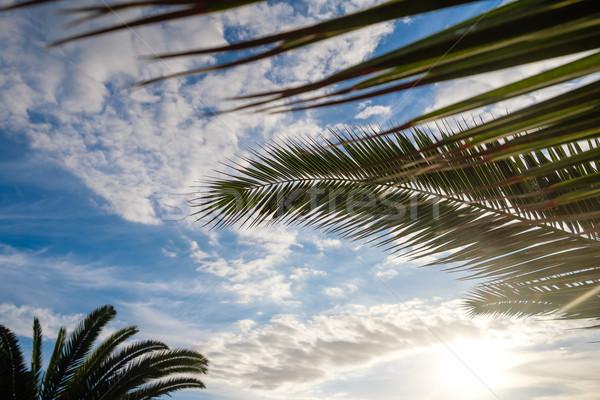 Palm tree leaves against sunset light Stock photo © svetography