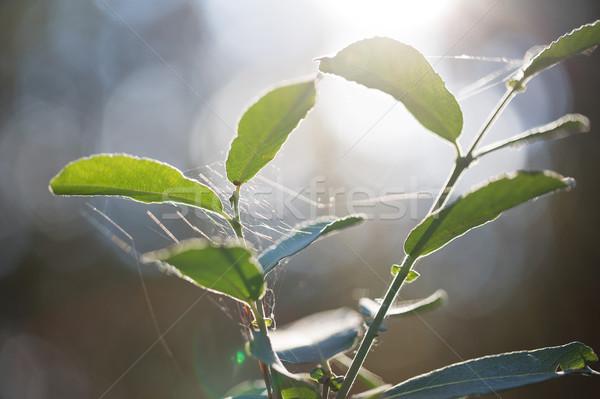Plantas Letonia aire libre tiro espacio de la copia Foto stock © svetography
