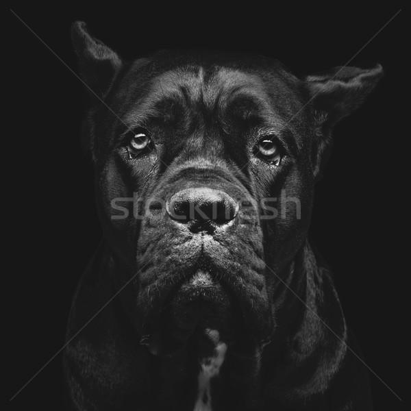 Cão retrato belo preto Foto stock © svetography