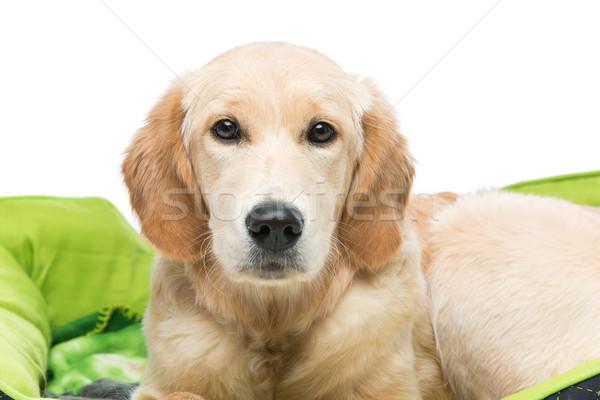 Jonge golden retriever hond groene puppy kussen Stockfoto © svetography