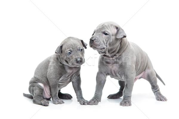 Stock photo: Two thai ridgeback puppies isolated on white
