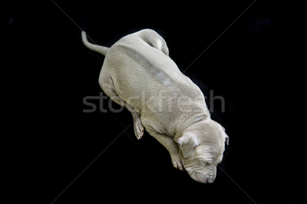 Thai kutyakölyök izolált fehér egy hónap Stock fotó © svetography