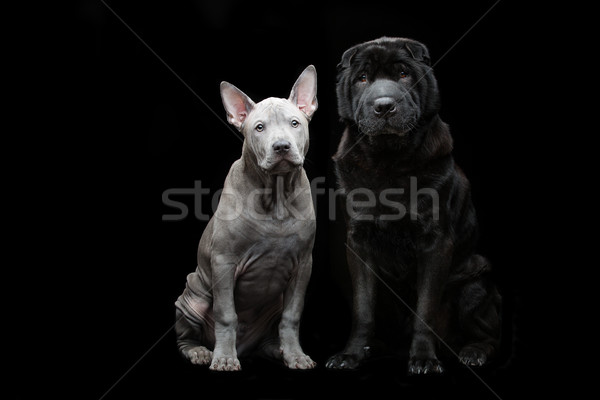 Beautiful dogs on black background  Stock photo © svetography