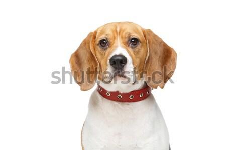 beautiful beagle dog isolated on white Stock photo © svetography