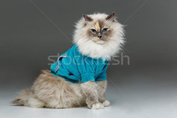 beautiful birma cat in blue shirt Stock photo © svetography