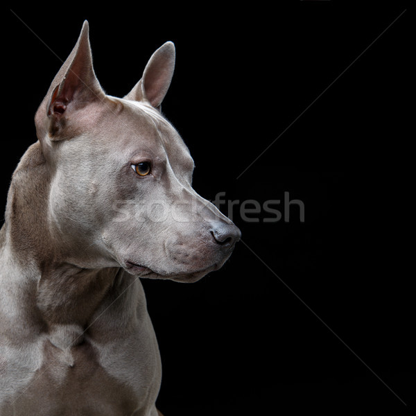 beautiful blue thai ridgeback dog Stock photo © svetography