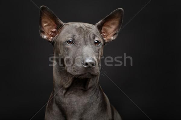 Gyönyörű thai kutyakölyök fekete kutya szuper Stock fotó © svetography