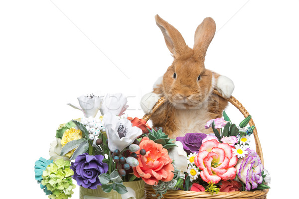 Piękna krajowy królik godny podziwu czerwony Zdjęcia stock © svetography