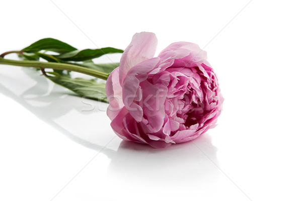 Beautiful peony flower Stock photo © svetography