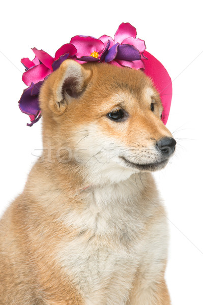 Beautiful shiba inu puppy in pink hat Stock photo © svetography