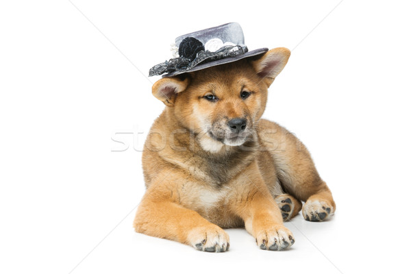 Beautiful shiba inu puppy in grey hat Stock photo © svetography