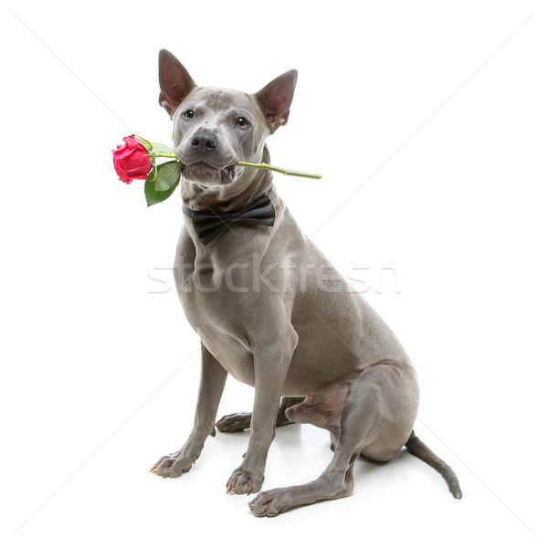 собака закрывается рот красивой синий Сток-фото © svetography