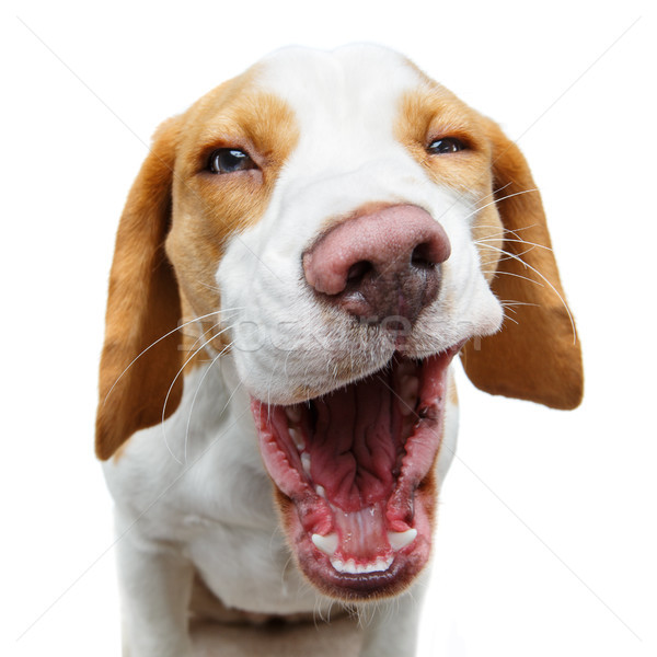 Vicces gyönyörű kopó kutya nevet izolált Stock fotó © svetography