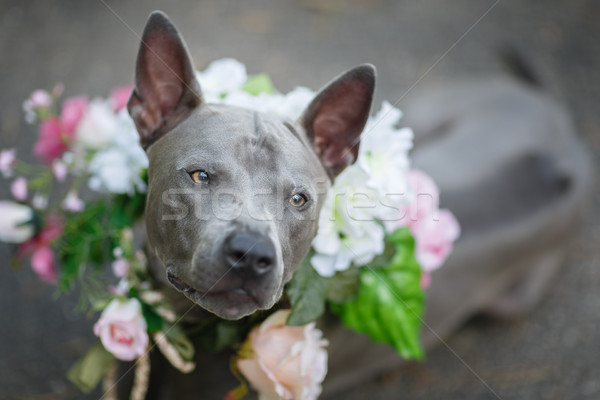 thai ridgeback dog in flower wreath Stock photo © svetography