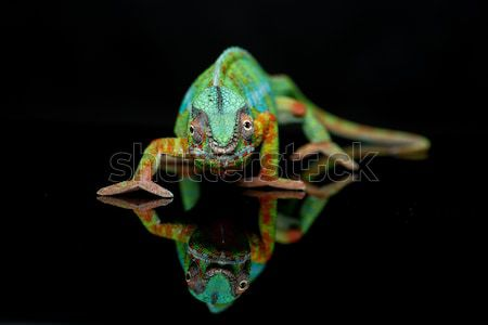 alive chameleon reptile Stock photo © svetography