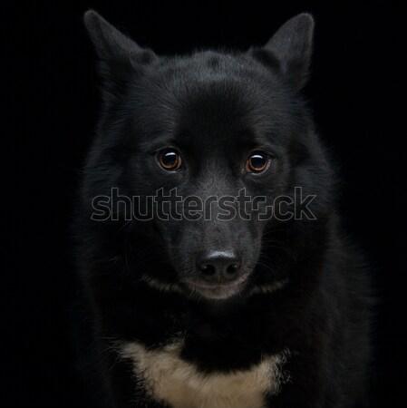 Black eskimo dog Stock photo © svetography
