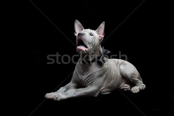 Thai kutyakölyök gyönyörű kék hónapok öreg Stock fotó © svetography