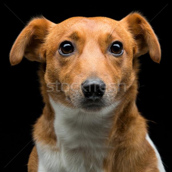 ジャックラッセルテリア クローズアップ 肖像 美しい 成人 ストックフォト © svetography
